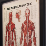 Muscular System 2